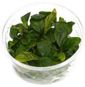 anubias-barteri-var-coffeifolia-in-vitro-xl.jpg