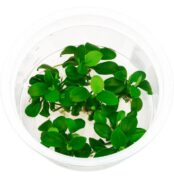 anubias-barteri-var-nana-petite-bonsai-ada-in-vitro-s.jpg